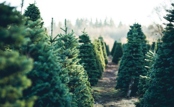 Netradiční sport z Německa: Hod vánočním stromkem
